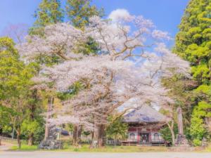 三島市内でおすすめの桜の名所一覧